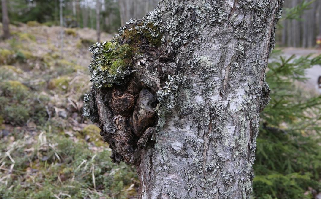 chaga na stromě